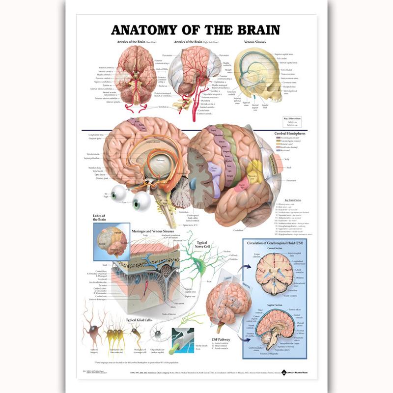 Anatomisches Poster Menschliches Gehirn kaufen auf ricardo.ch